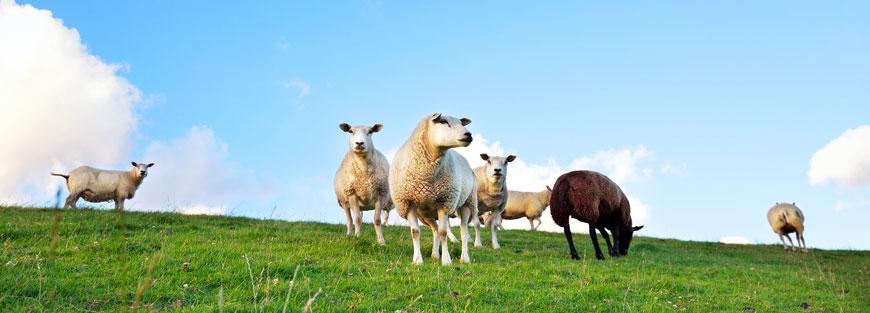 Ovine animals