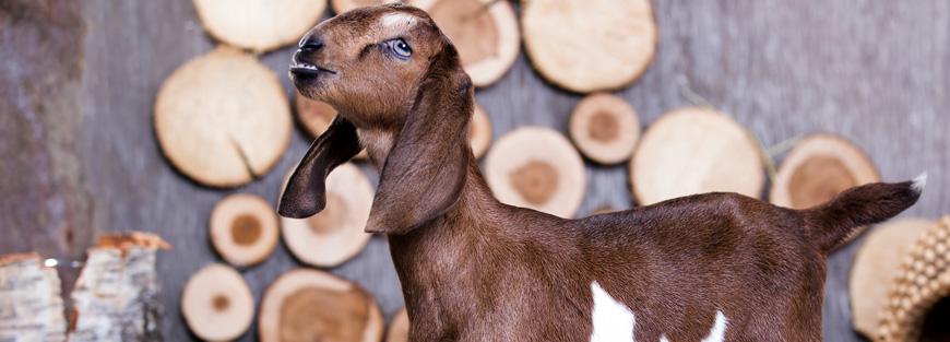 Sheep and Goat Marketing
