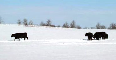 Farmers face snow, ice storms impact on cattle